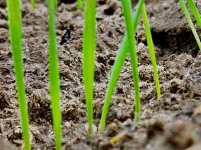 rosnące uprawy