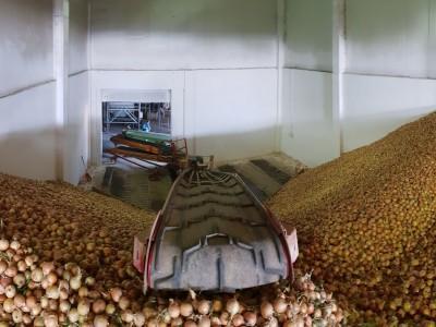 taśmociąg do transportu cebuli